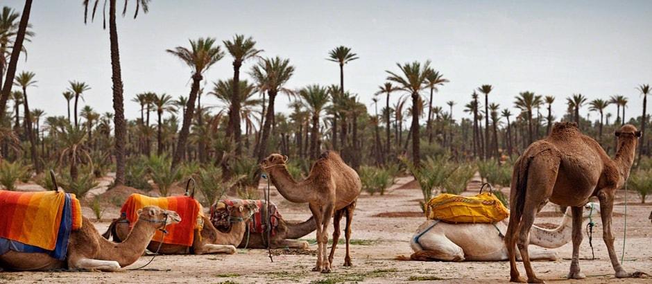 Marrakech Camel Rides